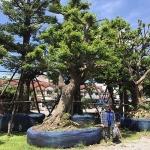 จำหน่ายพันธุ์ไม้ใหญ่หายาก กรุงเทพฯ - บริการจัดสวน พนา 1000 เมืองต้นไม้ กรุงเทพฯ