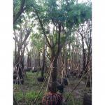 ขายส่งต้นไม้ รังสิต ปทุมธานี - ไร่หญ้า จ๋า หรือ มนู