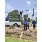 ขายส่งหญ้า รังสิต ปทุมธานี - ไร่หญ้า จ๋า หรือ มนู