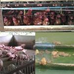 จำหน่ายพันธุ์สัตว์ - ห้างหุ้นส่วนจำกัด รุ่งเรืองการเกษตร