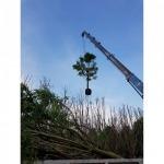 รับยกย้าย ต้นไม้ - รถเครนรับจ้าง ขนส่งต้นไม้ เอ แอนด์ เอ เครน