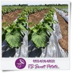 TS Sweetpotato