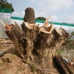 รับตัดต้นไม้ สมุทรสาคร - เอส ซี คัต บริการตัดต้นไม้