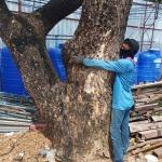 รับตัดต้นไม้ใหญ่ ราชพฤษ์ - เอส ซี คัต บริการตัดต้นไม้