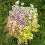 ดอกเดซี่ปลอม - แหล่งขายปลีก - ส่งดอกไม้ปลอม Sisterflowers