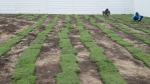 ขายส่งหญ้า ปทุมธานี - รับปูหญ้า จัดสวน รังสิต ปทุมธานี