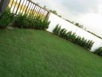 รับปูสนามหญ้า ปทุมธานี - รับปูหญ้า จัดสวน รังสิต ปทุมธานี