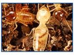 บริษัทกำจัดปลวก ตัวเมืองกาญจนบุรี - Termite control Kanchanaburi