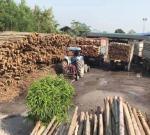 ขายส่งไม้ยูคา ไม้เสาเข็ม - ขายไม้ยูคา คลอง11 ปทุมธานี วิชัย เสาเข็ม