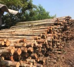ขายส่งไม้เสาเข็ม - ขายไม้ยูคา คลอง11 ปทุมธานี วิชัย เสาเข็ม