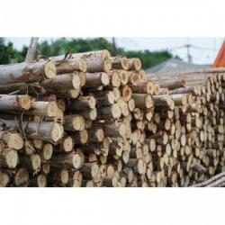 ไม้ยูคา - หนองปรือค้าไม้