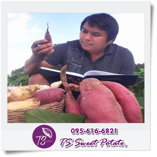 TS Sweet Potato